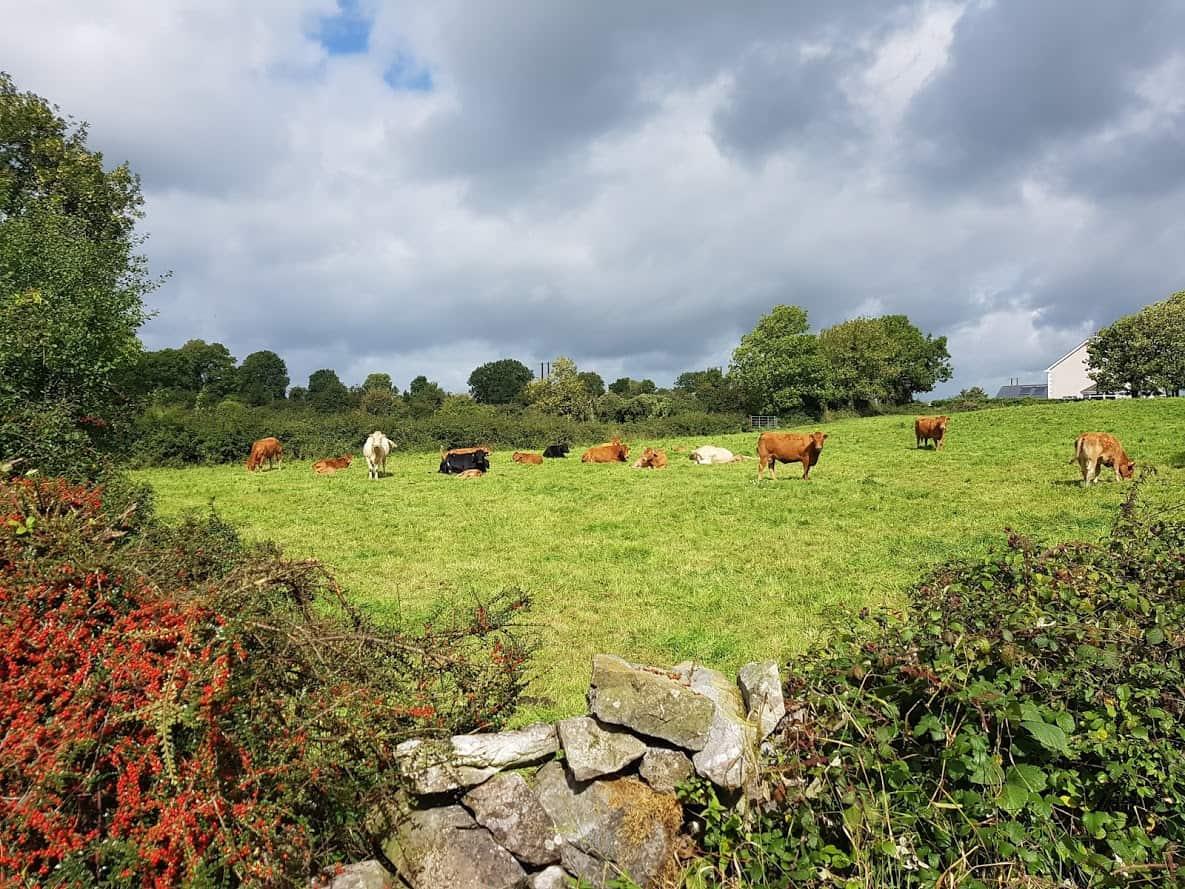 L85313 grazing cows